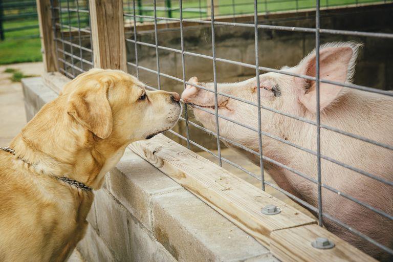 hypernym - dog and pig