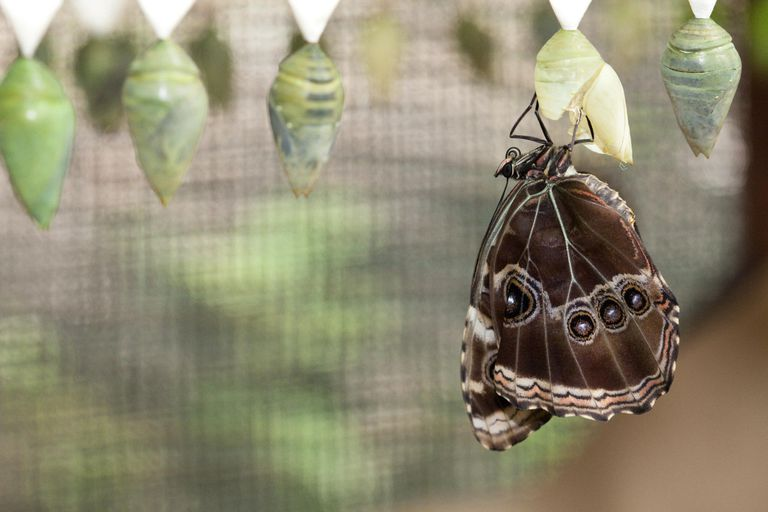 Blue Morpho Butterfly Coming Out of Cocoon