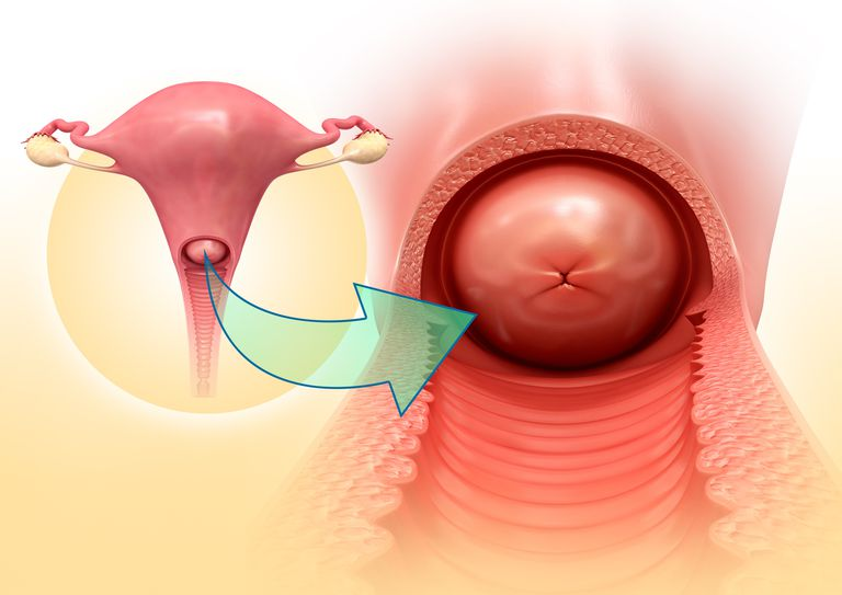 Illustration of the anatomy of the cervix