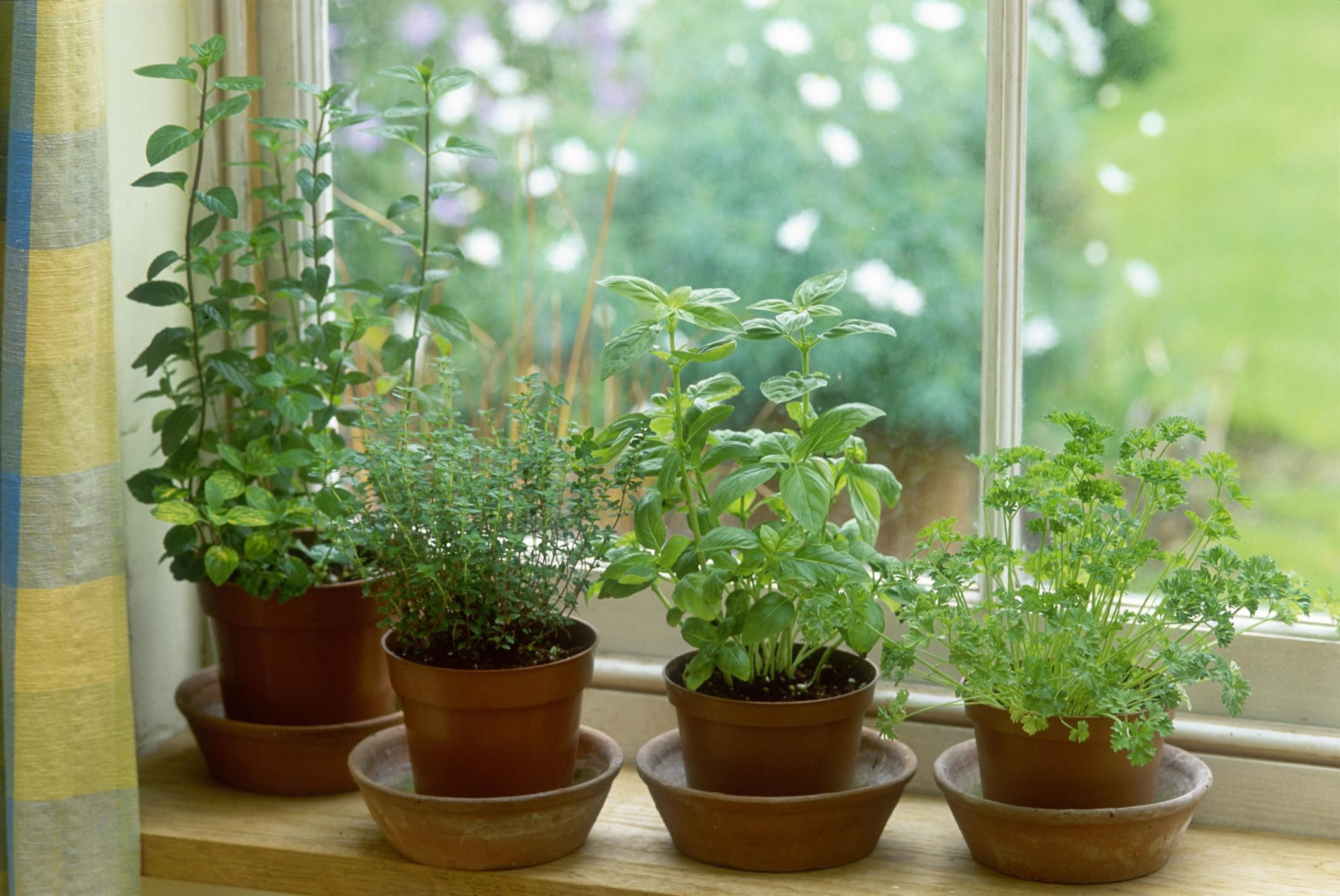 How To Overwinter Garden Herbs Indoors