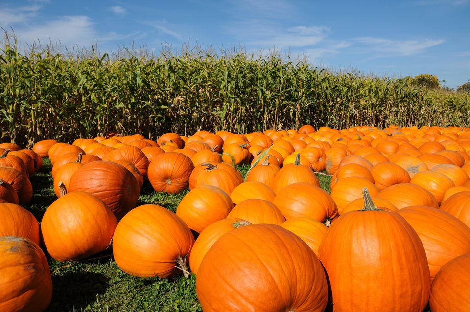 Pumpkins farm