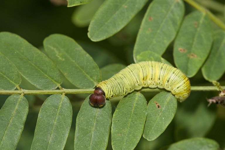 Close up of Eruciform larva on branch.