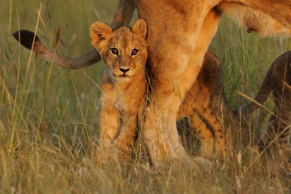 Fun Facts About Africa's Baby Safari Animals Lion