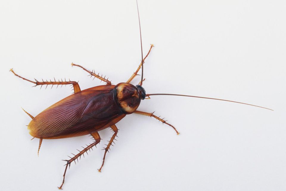 Why cockroaches survive for One cockroach in bathroom