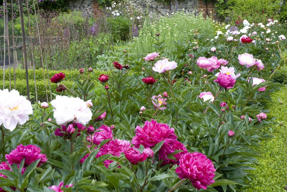 Border of mixed peonies (Paeonia) in walled garden