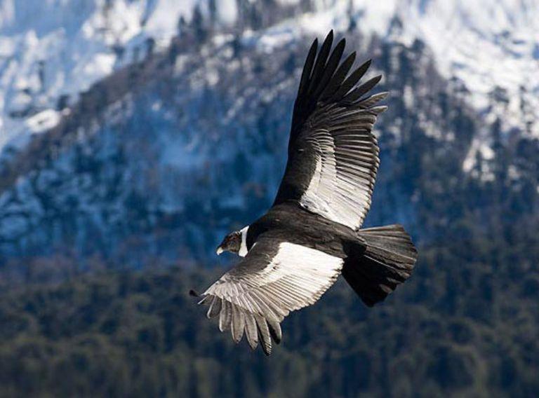 condor-andino-.jpg