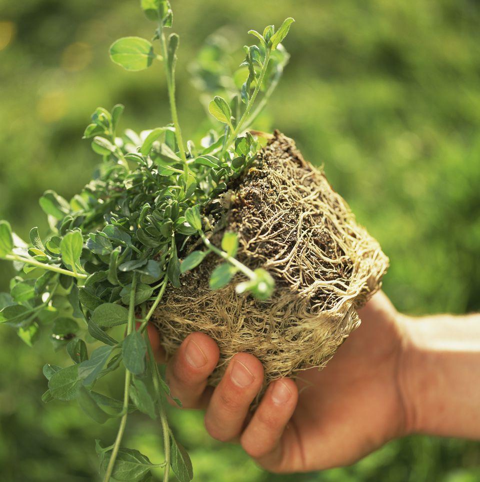 Holding pot-bound plant