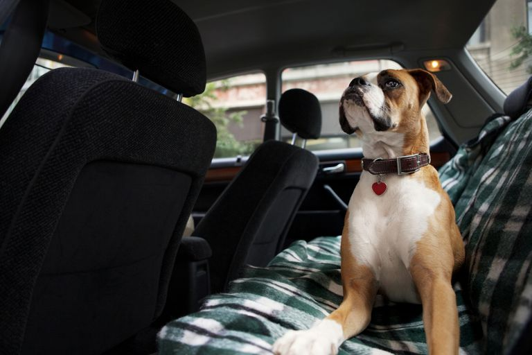 Boxer dog in rear seat of car