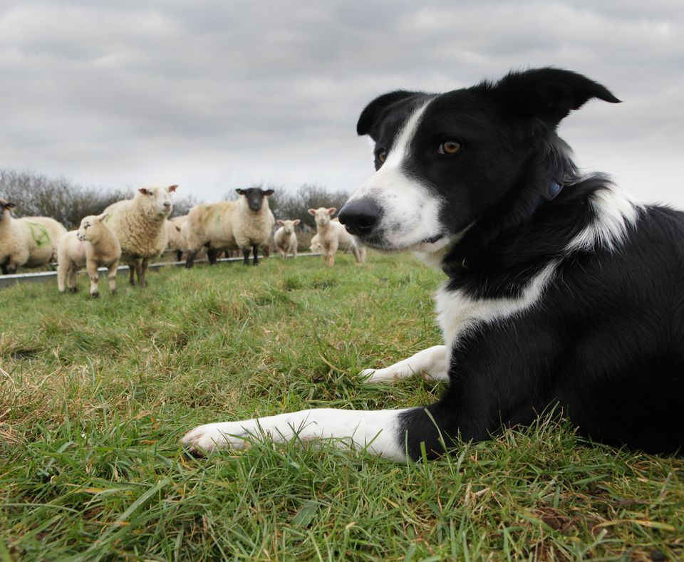 black and white dog in field with sheep