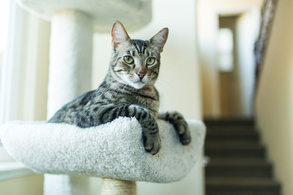 Playful Tabby Cat Resting on Cat Tree Indoors