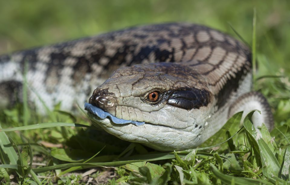 Blue tongued skink (Tilaqua scincoides scincoides)