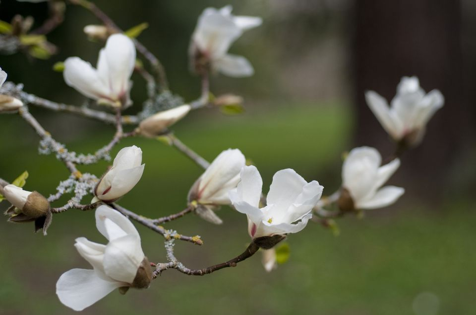 12 species of magnolia trees and shrubs picture of the kobus magnolia tree mightylinksfo Images