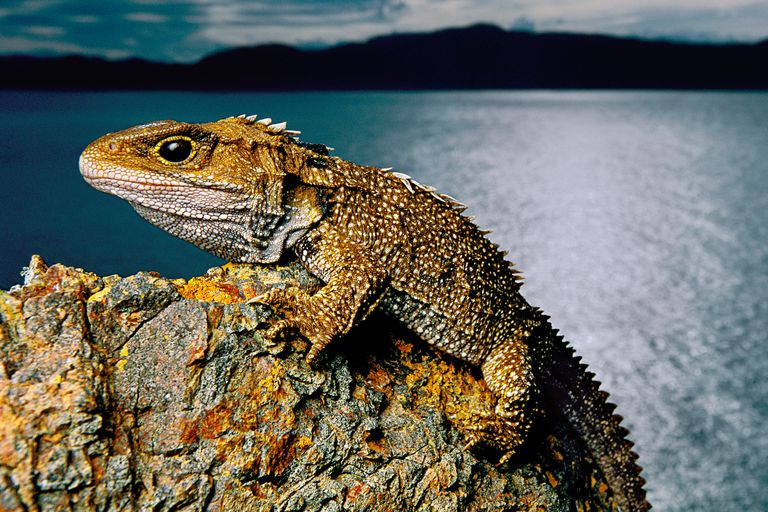 This Brothers Island tuatara is one of only two species of tuataras alive today.