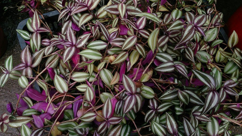 How to grow wandering jew plants tradescantia for Tradescantia zebrina