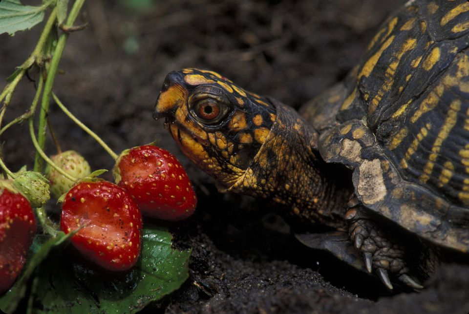 EASTERN BOX TURTLE EATING STRAWBERRIES (TERRAPENE CAROLINA)