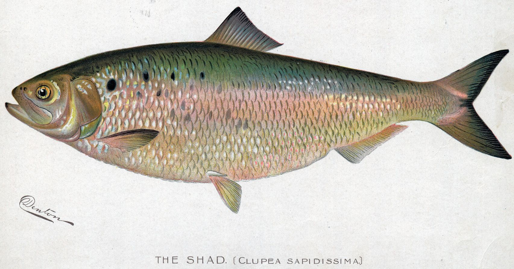 Shad season in connecticut events dining recipes for Ct saltwater fishing regulations