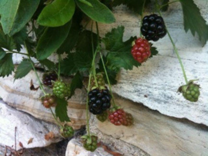 hybrid berries