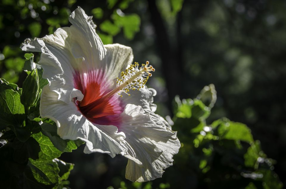 14 tropical flowers you can grow almost anywhere hibiscus is a genus of flowering plants in the mallow family malvaceae mightylinksfo Images
