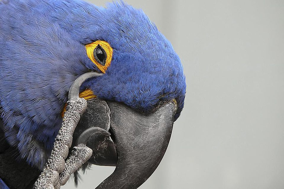 Parrot scratching his eye