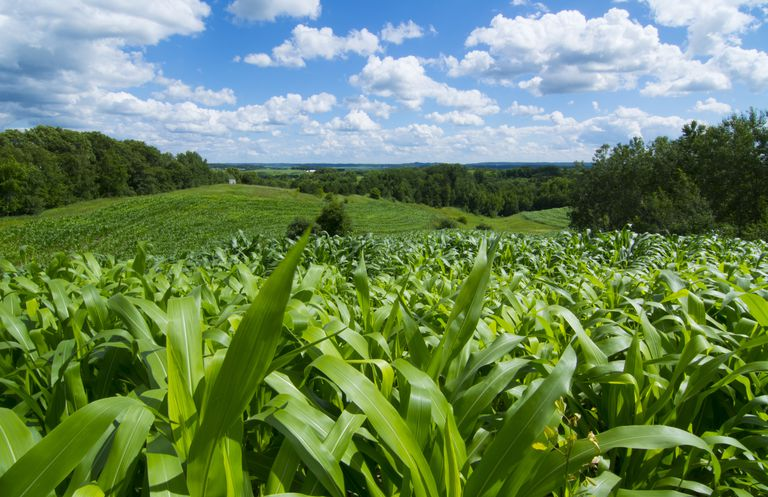 Corn is just one of the many different things that can be sold as a commodity. To put it simply, anything that can be made grown or dug out of the earth is a commodity.