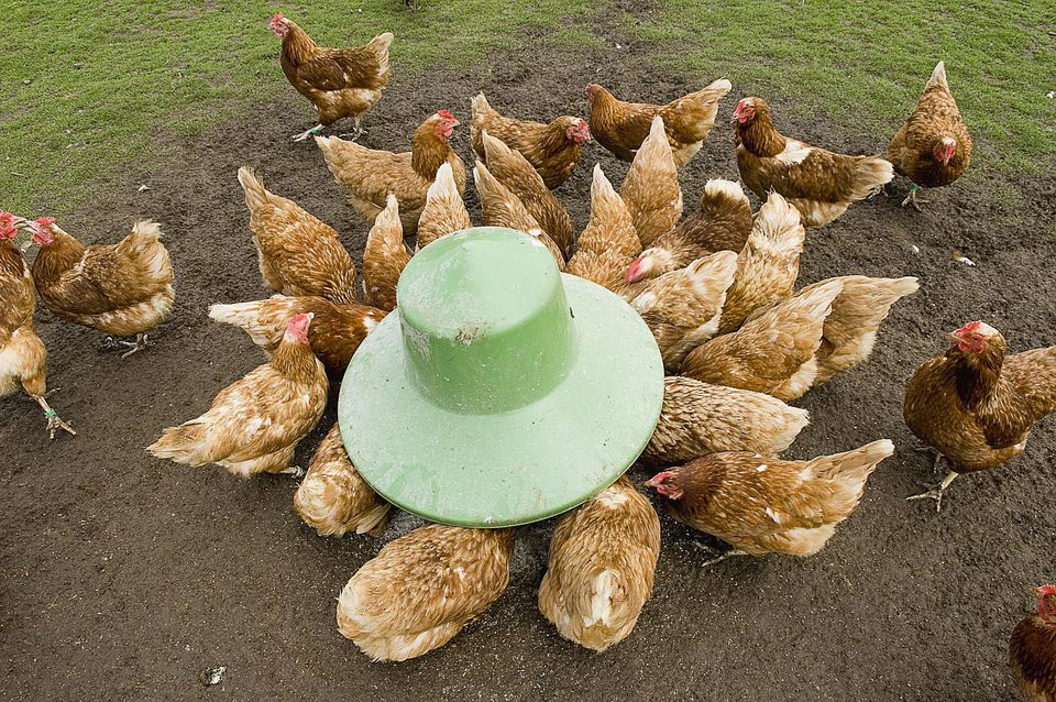 Group of hens (Gallus gallus domesticus) crowded around feeder in farmyard, Ross-shire, Scotland