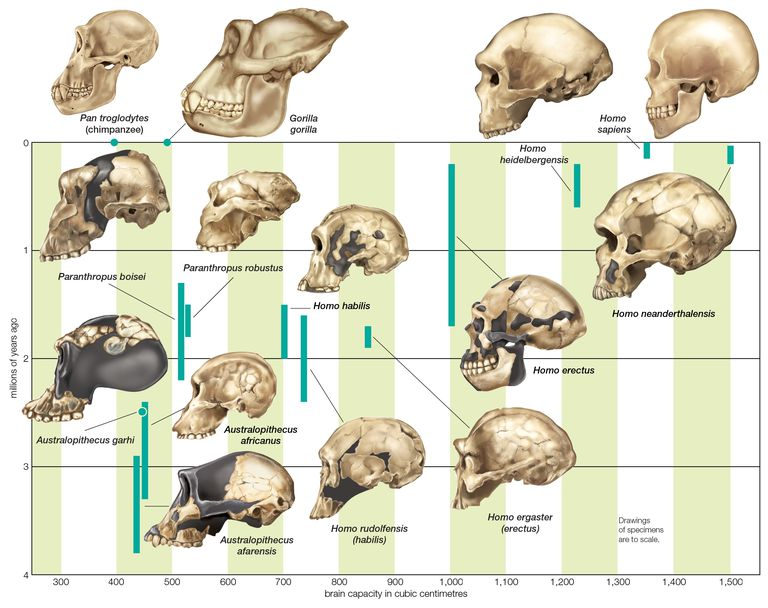 The increase in hominin cranial capacity through various species over time.