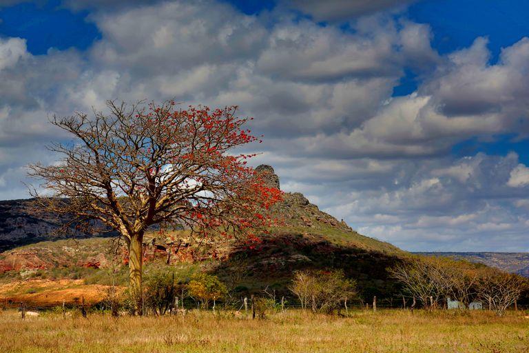 mulungu tree
