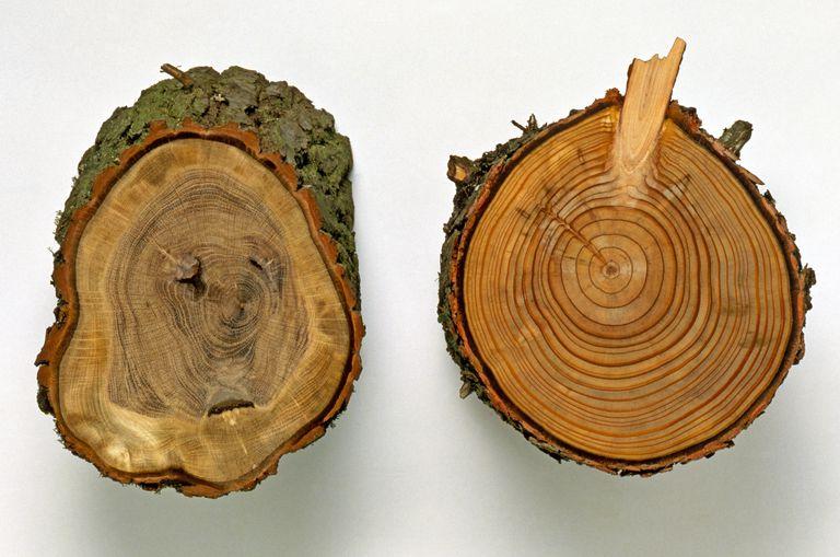 Anillos de un árbol