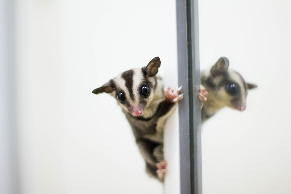 A sugar glider joey (baby) climbing up the mirror