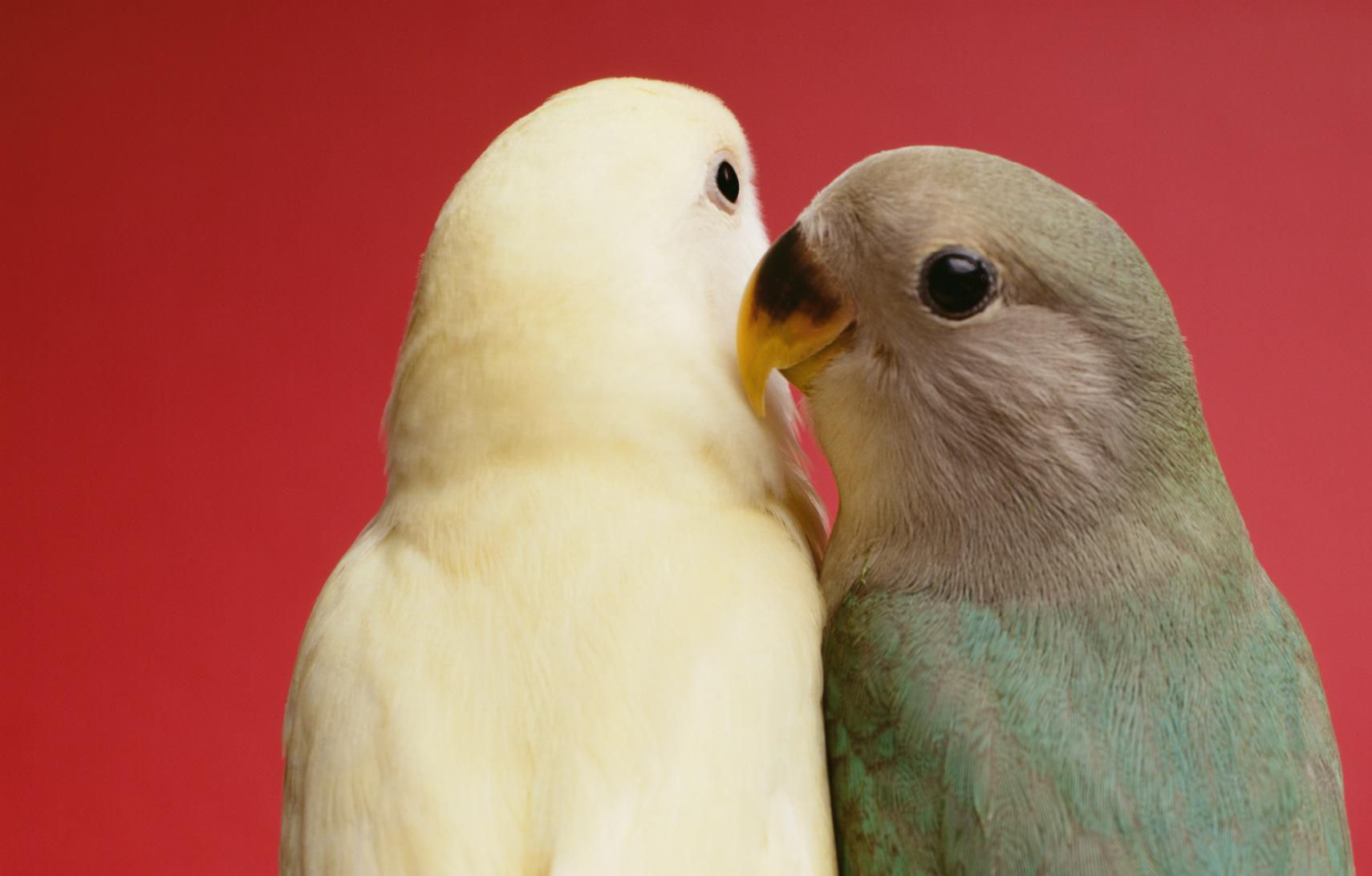keeping and care of lovebirds as pets