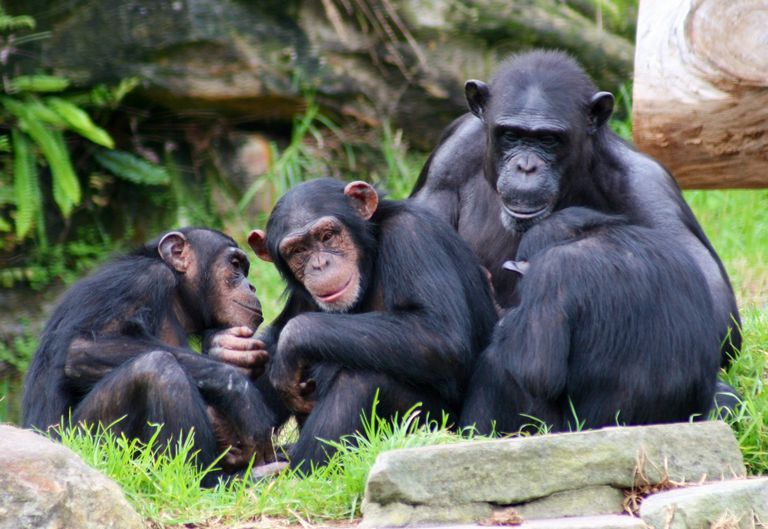 Three chimpanzees and gorilla sitting by rocks in grass