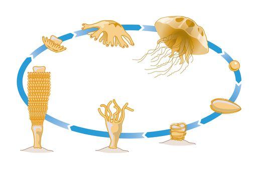 Digital illustration of life cycle of Jellyfish showing Medusa mobile phase, Sperm, planula larva, p