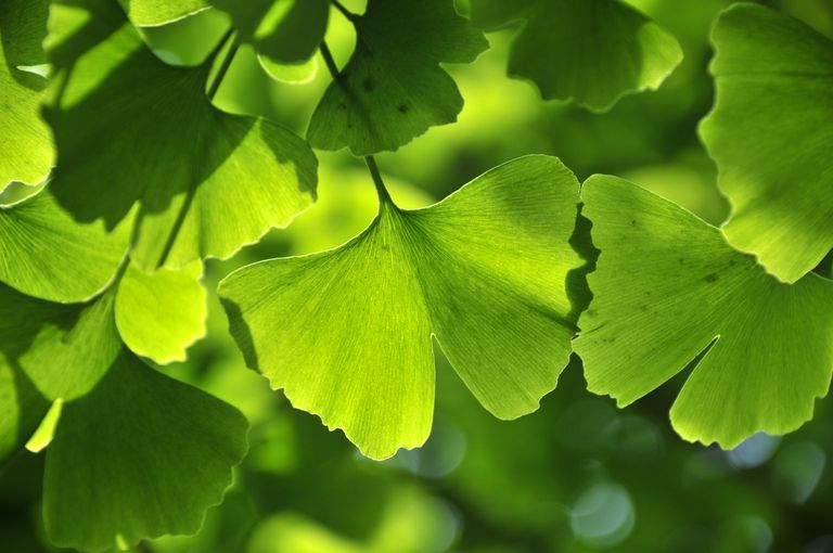 the medicinal benefits of the ginkgo leaf in china Ginkgo biloba (maidenhair tree): benefits, uses and virtues of ginkgo biloba medicinal properties often imported from china, japan or korea (especially the leaves and in japan, ginkgo biloba is considered to be a tree of growth and longevity, and in tokyo the ginkgo leaf is honored.