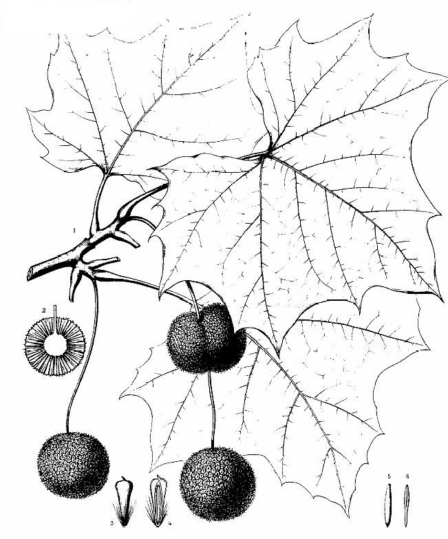 How to identify common american sycamore description and identification sciox Gallery