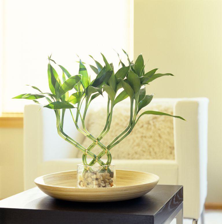 Bambú de la buena suerte