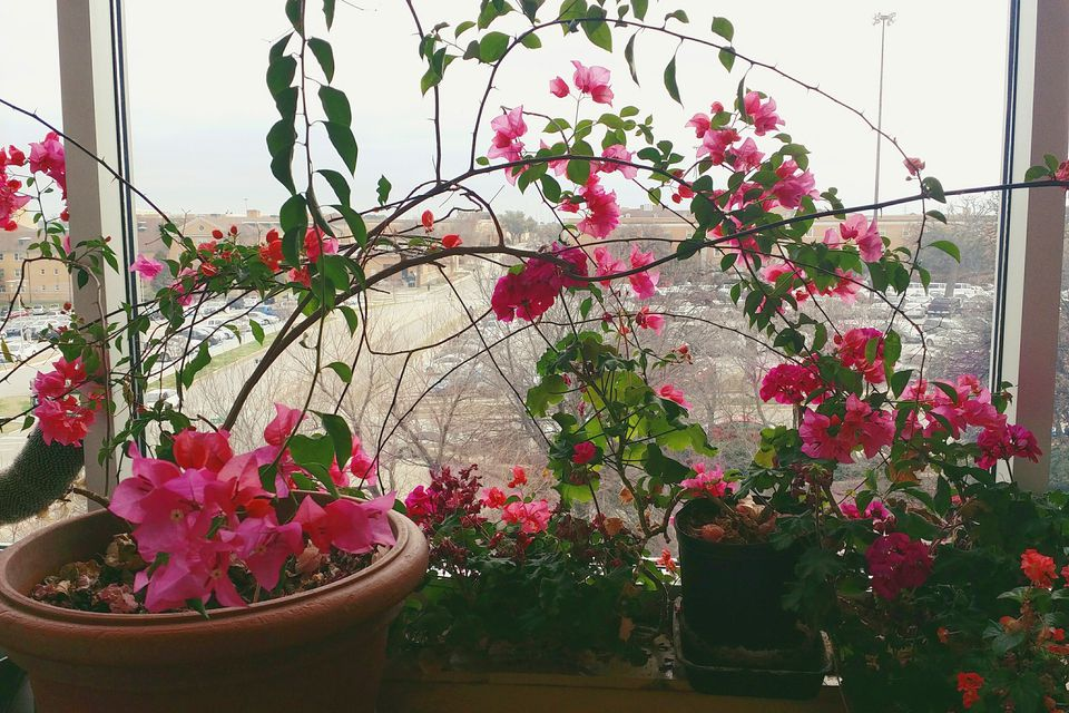 How to grow bougainvillea as a houseplant mightylinksfo Image collections