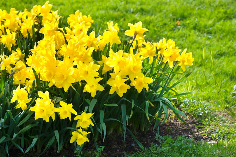 Yellow daffodils blooming in a garden