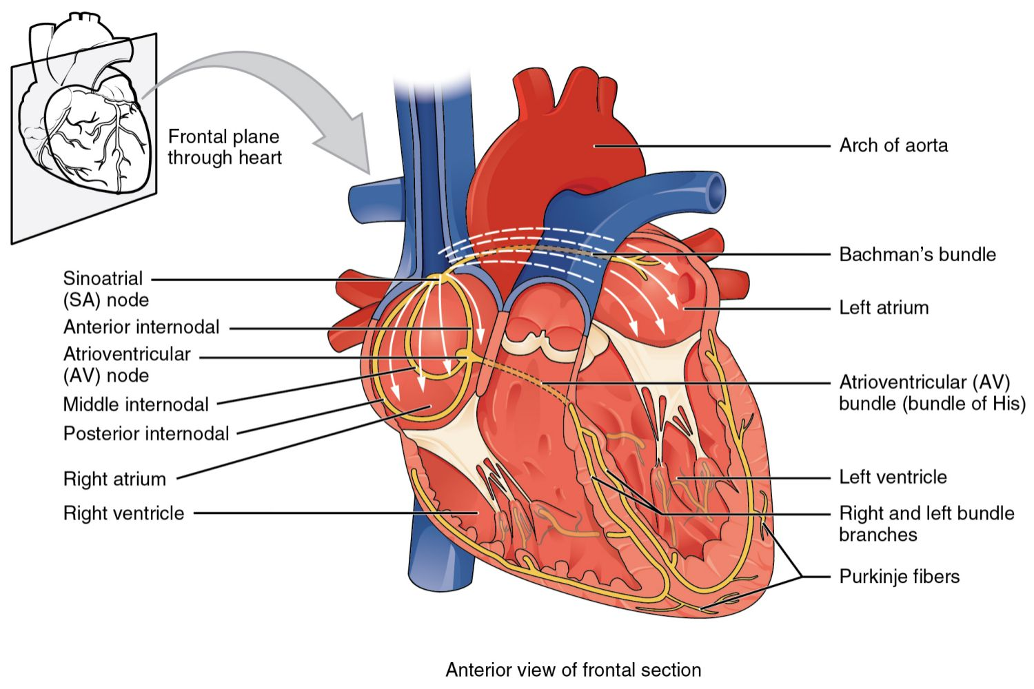 Anatomy of the heart diagram view av and sa nodes electrical system of the heart pooptronica