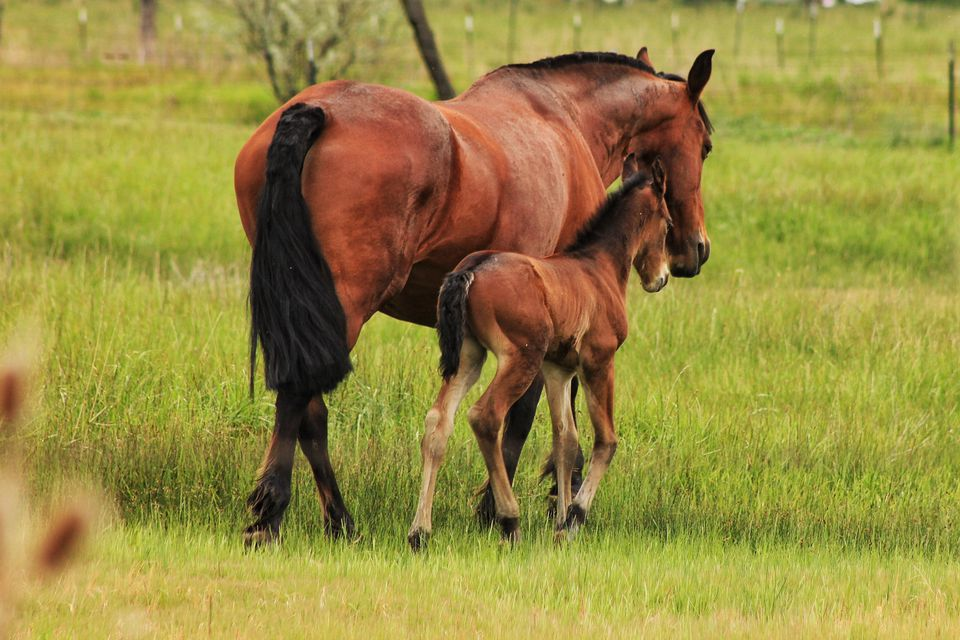 Horse With Foal On Grassy Field