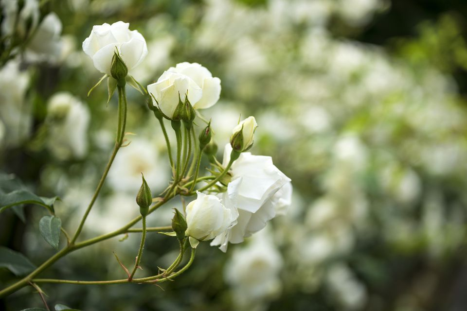 10 best shrubs with white flowers white roses growing on a bush mightylinksfo Images