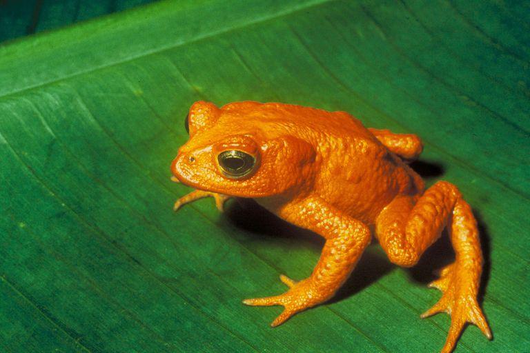 The extinct Golden Toad