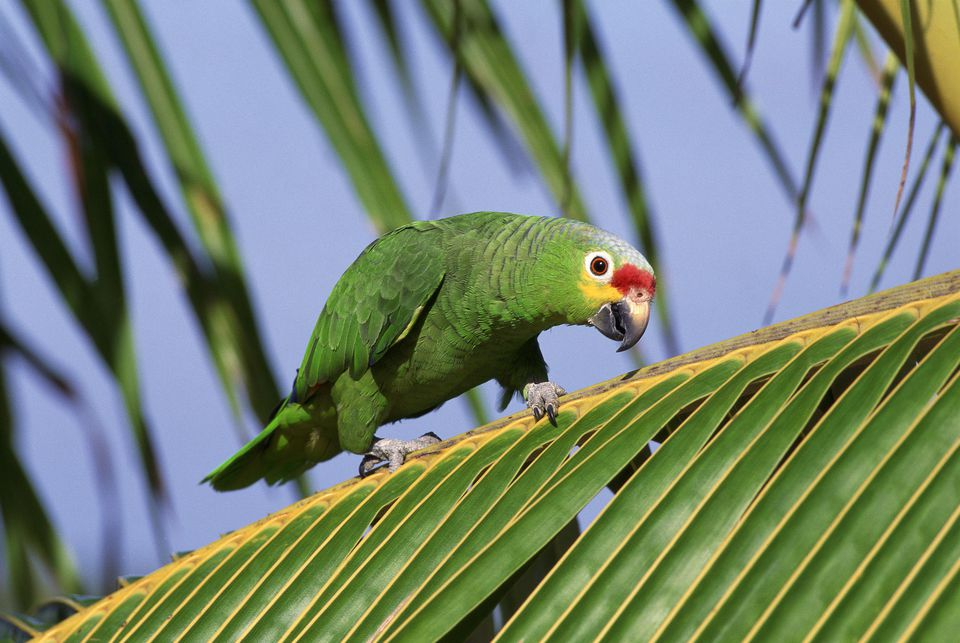 Red Lored Amazon Parrot