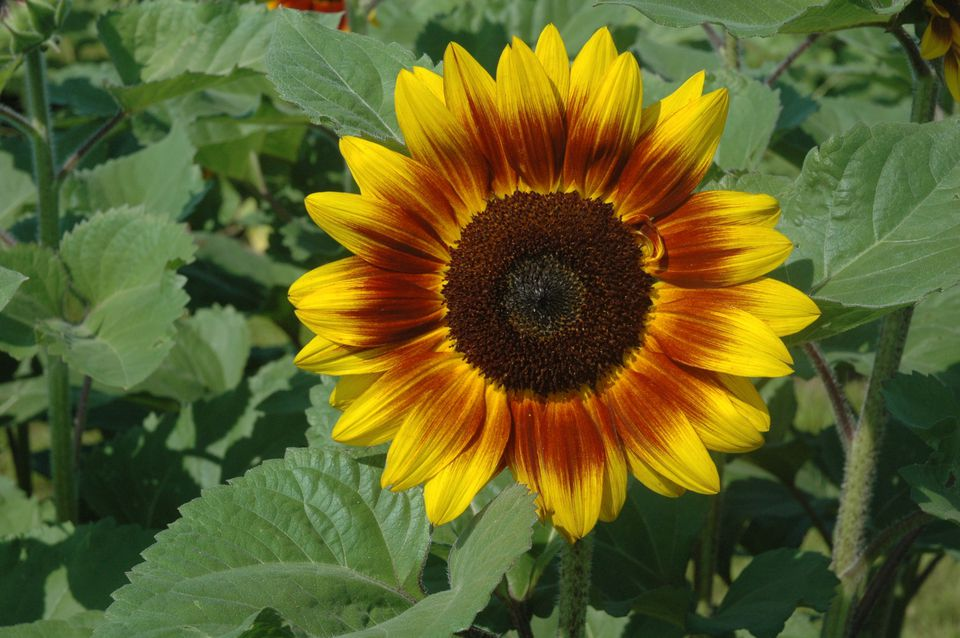 15 Eye Popping Sunflower Varieties