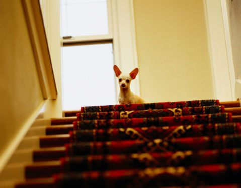 Chihuahua Dog at Top of Stairs