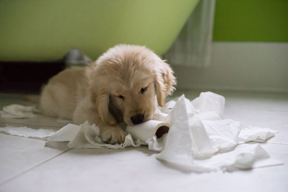 Puppy eating toilet paper