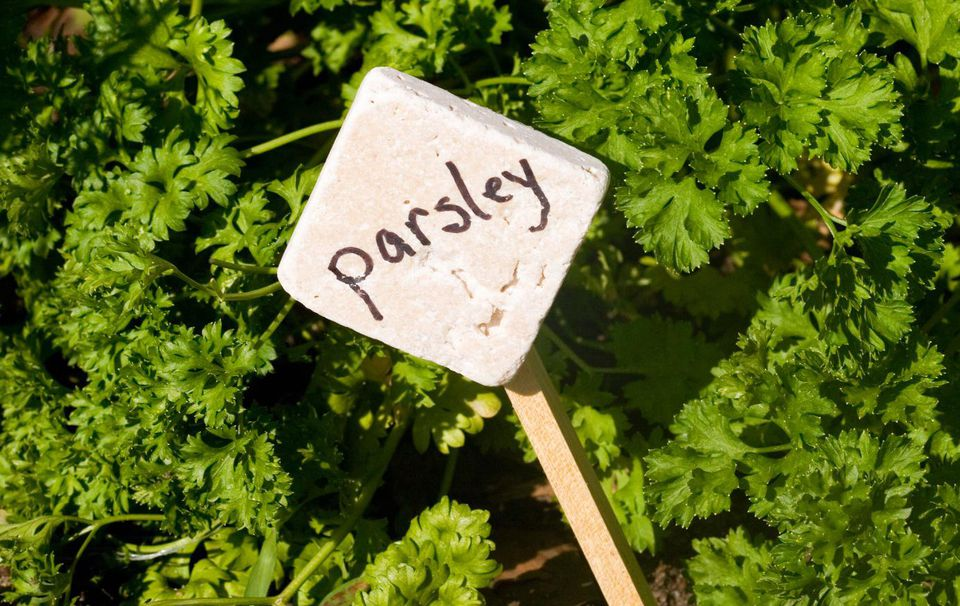 Parsley in garden with sign
