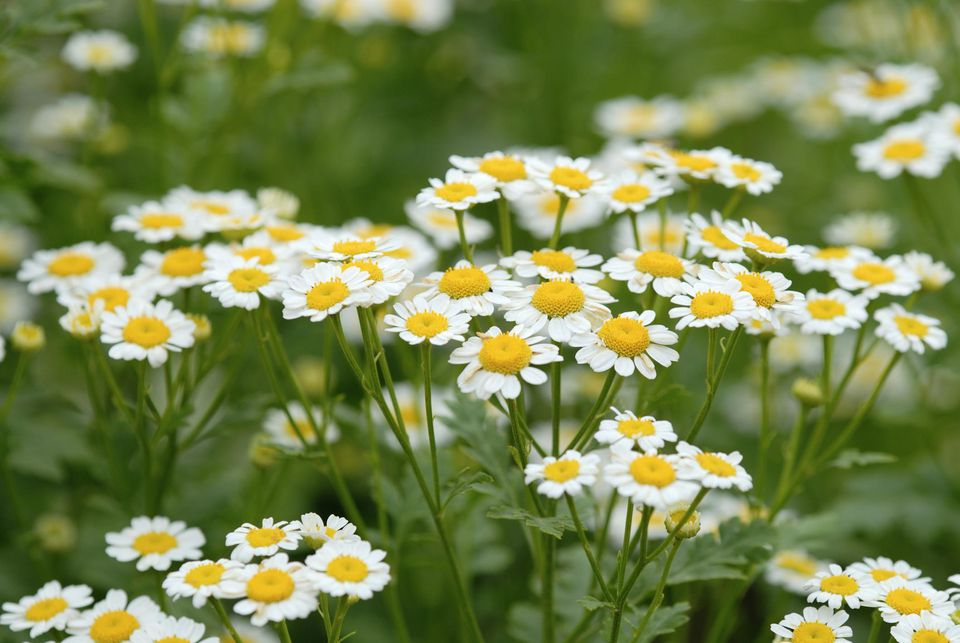 Image result for chamomile pic