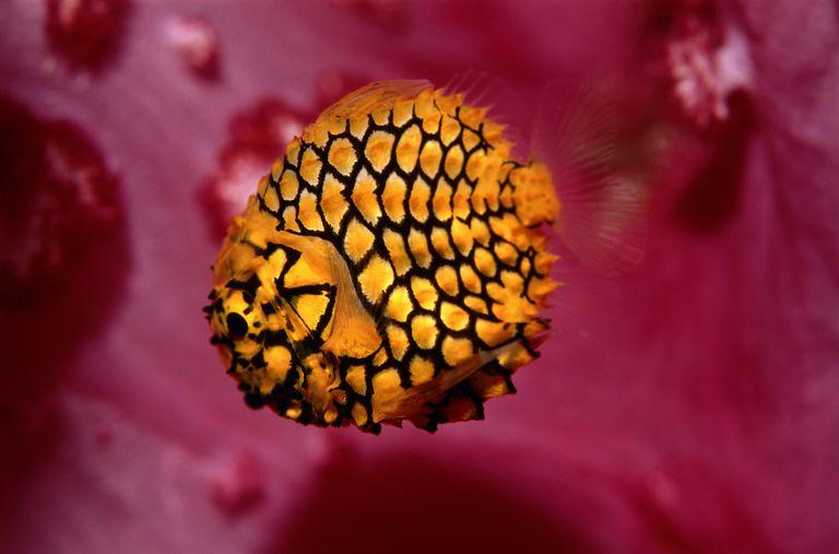 Pinecone fish (Monocentris japonica), side view