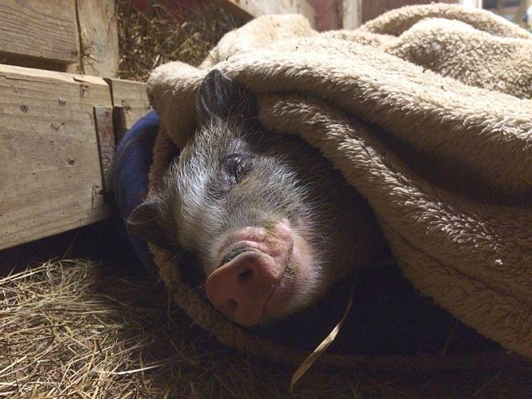 Close-Up Of Pig Sleeping In Animal Pen