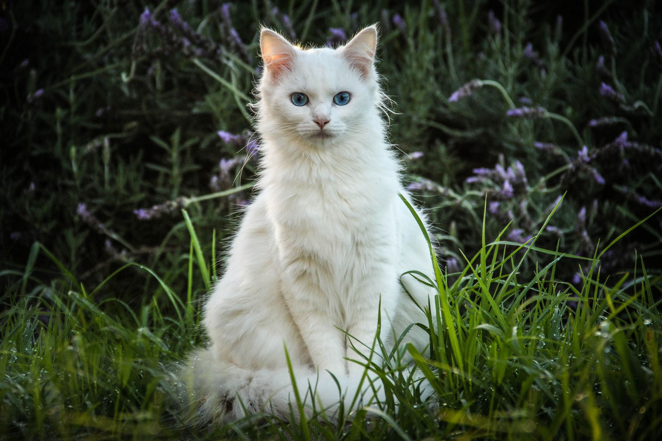White Cats Features and Health Issues